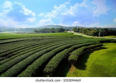 Landscape of tea plantation blue sky background in Chiang Rai, Thailand