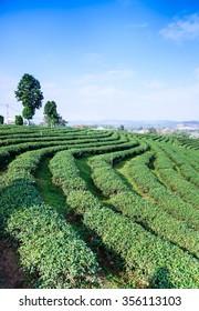 Landscape of tea plantation , Chiang Rai, Thailand.