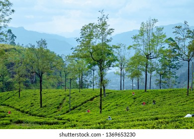 Landscape Tea Plantation of Lipton Seat Image. Green Field on Hills with Trees and Blue Sky on Background. Agriculture of Asian Island. India Leads the World in Technology of Employ Harvest