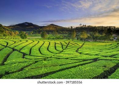 Landscape Tea Plantation location Rancabali Ciwidey West Java