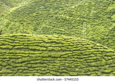 A landscape of a tea plantation on hills.