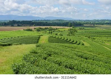 Landscape is Teaplantation.