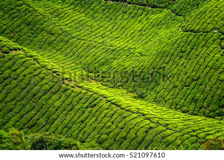 Landscape Top View Of Tea Plantation Green Fresh Texture In Cameron HighlandMalaysia