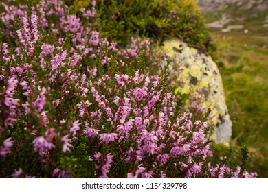 Landscape travel on the way to  the stone of the kjerag in the mountains flowers and berries kjeragbolten of Norway
