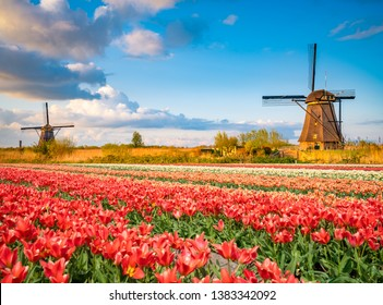 Landscape with tulips, traditional dutch windmills in Netherlands, Europe