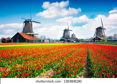 Landscape with tulips, traditional dutch of windmills and houses near the canal of Zaanse Schans in Netherlands, Europe.