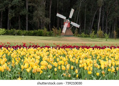 Landscape with tulips, traditional dutch windmills.