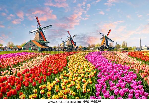 Paysage avec tulipes, moulins à vent traditionnels hollandais et maisons près du canal à Zanse Schans, Pays-Bas, Europe