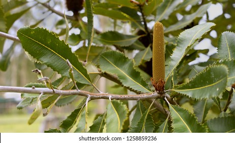 landscape view of Australian Banksia robur Swamp banksia with flower spike growing in bushland