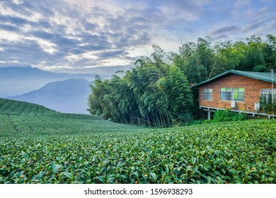 Landscape View Of Beautiful Oolong Tea Garden At The 1314 Observation Deck, Alishan, Riley, Chiayi, Taiwan