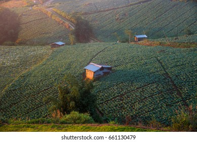 Landscape view of cabbage field with lighting in morning time