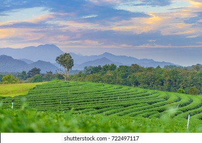 Landscape view of Camellia sinensis plant field. It is at Choui Fong plantation in Chiang Rai, Thailand, Southeast Asia.