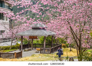 Landscape View of Cherry Blossoms at Sakura Gardens Of Wuling Farm, Taichung, Taiwan