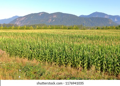 Landscape view of corn fields and a mountain range found in southwestern British Columbia, Canada near Abbotsford.