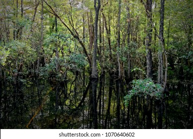 Landscape with view of Cypress trees growing in Sweetwater Strand of the Big Cypress National Preserve, just north of the  Florida Everglades. A strand is a natural overflow in the landscape.