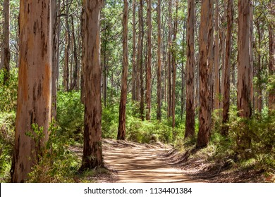 Landscape view of forestry track winding through a tall Karri Forest at Boranup in Western Australia.