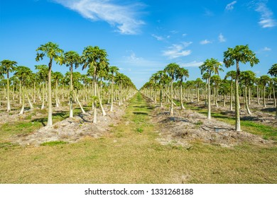 Landscape view of a freshly growing papaya orchard.