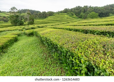 A landscape view of the Gorreana tea plantation on Sao Miguel in the Azores.