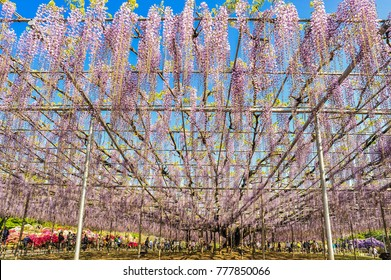Landscape View of The Great Wisteria Blooming Like a Waterfall at Ashikaga Flower Park, Tochigi Prefecture, Japan