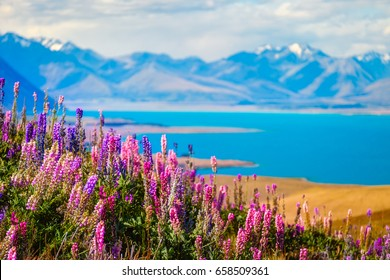 Landscape view of Lake Tekapo, flowers and mountains from Mt John observatory, Southern Alps, New Zealand