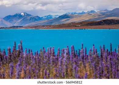Landscape view of lake Tekapo and mountains with blooming foreground, Southern Alps, South island of New Zealand