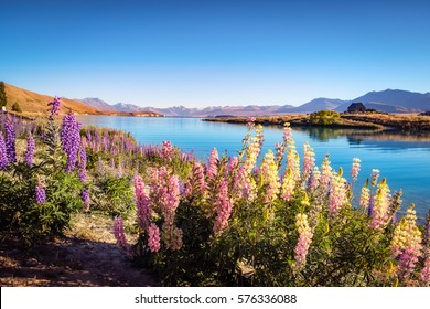 Landscape view of Lake Tekapo, mountains and lupin flowers, Southern Alps, New Zealand