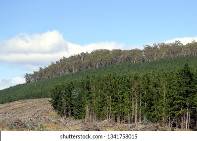 Landscape view of Pine plantation forestry in Tasmania Australia.