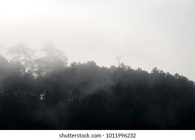 Landscape view of pine tree with white fog in the forest