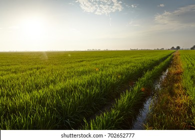 Landscape view of a rice paddy field