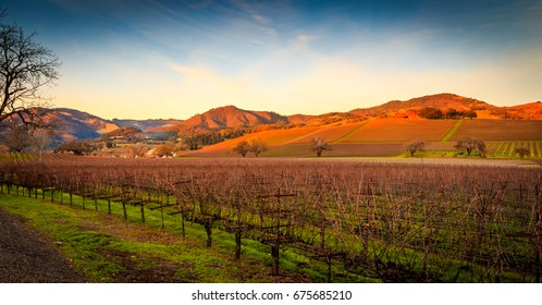 A landscape view of Sonoma valley vineyards at sunset with fluffy white clouds, trees and buildings.