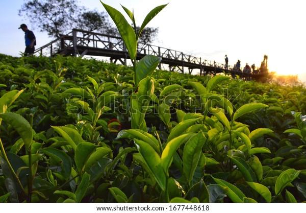 Landscape view of tea farm at Wonosari hills, Lawang regency, East Java, Indonesia.,