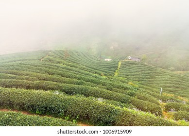 Landscape View at Tea Plantation 2000 in the morning on a foggy day.Thailand