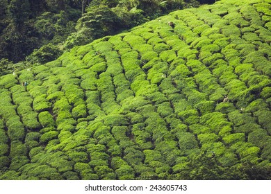 Landscape view of Tea Plantation in Cameron Highland