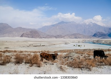 Landscape view of two cows grazing near the Katpana cold desert and turquoise blue river with mountain range in the background. Skardu, Gilgit Baltistan, Pakistan.
