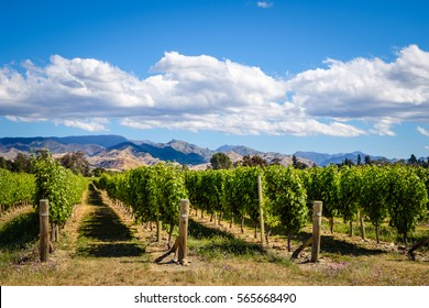 Landscape view of vineyard in Marlborough wine country, South island, New Zealand