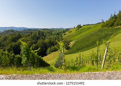 Landscape view of vineyard on hill in morning. These wine grapes are growing in south Styrian, wine country in Leutschach, Austria