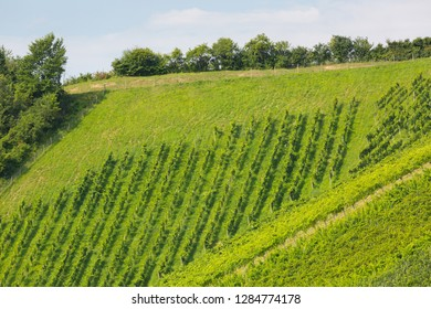 Landscape view of vineyard on hill. These wine grapes are growing in south Styrian, wine country in Leutschach, Austria