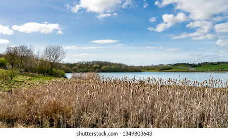 Landscape view while riverside at Herrington Country Park in Sunderland.  Image features common reeds (Phragmites) with lake and trees in the background on a warm day with white clouds in the sky.