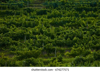Landscape of vineyard, nature background. Landscape of hills with vineyards in Moldova. Vineyard with rows of grapes growing under a blue sky