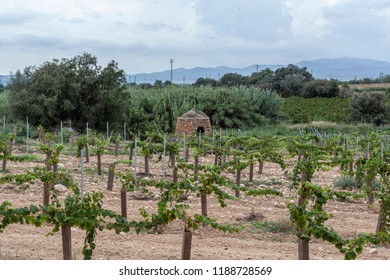 Landscape with vineyards in Penedes wine cava region,Catalonia
