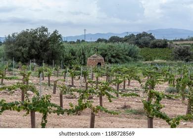 Landscape with vineyards in Penedes wine cava region,Catalonia