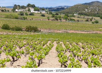 Landscape with vineyards ,spring day, Penedes wine cava regions,Catalonia,Spain.