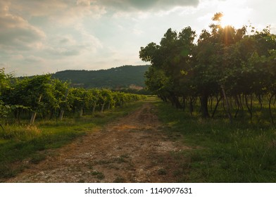 Landscape of vineyards in the Valpolicella area, Veneto Italy
