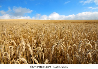 Landscape with warm colored yellow wheat crops on sunny day on rural farmland. Ears of golden wheat close up. Background of ripening ears of meadow wheat field. Rich harvest ?oncept.
