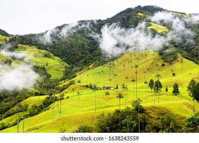 Landscape of wax palm trees (Ceroxylon quindiuense) in Cocora Valley or Valle de Cocora in Colombia near Salento town, South America
