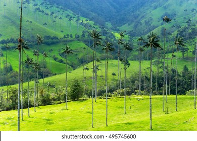 Landscape of wax palm trees in Cocora Valley near Salento, Colombia