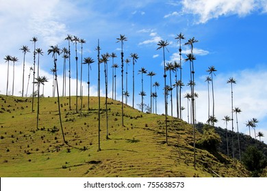 Landscape of wax palm trees in Cocora Valley near Salento, Colombia, South America