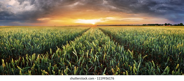 Landscape with wheat field, agriculture - panorama