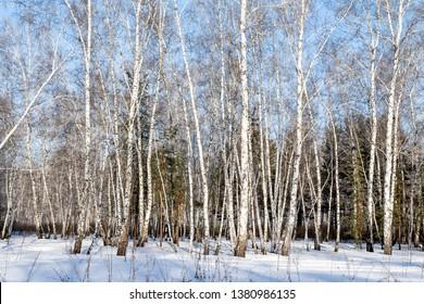 Landscape, white birch winter forest, snow trees.