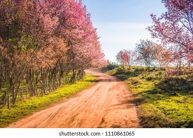 Landscape of Wild Himalayan Cherry (Prunus cerasoides) at Phu Lom Lo, Loei, Thailand